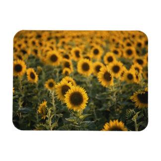France, Vaucluse, sunflowers field Rectangular Photo Magnet