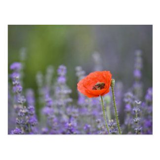Francia Provence Amapola solitaria en campo de Tarjeta Postal