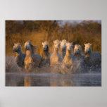 Francia, Provence. Caballos blancos de Camargue Póster