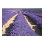 Francia, Provence. Filas de la lavanda en la flora Cojinete