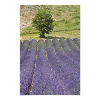 Francia, Provence. Filas de la lavanda en la flora Fotografías