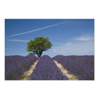 Francia, Provence. Filas de la lavanda en la flora Póster