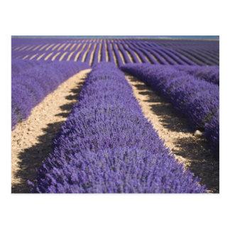 Francia Provence Filas de la lavanda en la flora Postales