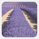 Francia, Provence. Filas de la lavanda en la Pegatina Cuadrada