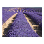 Francia, Provence. Filas de la lavanda en la Postal