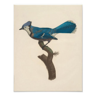 "Francois Le Vaillant ""Blue Jay"" Nature Print Photo Print"
