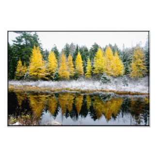 Franconia Pond Larches Photo