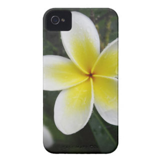 Frangipani And Raindrops iPhone case Case-Mate iPhone 4 Cases