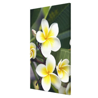 Frangipani flower Cook Islands Canvas Print