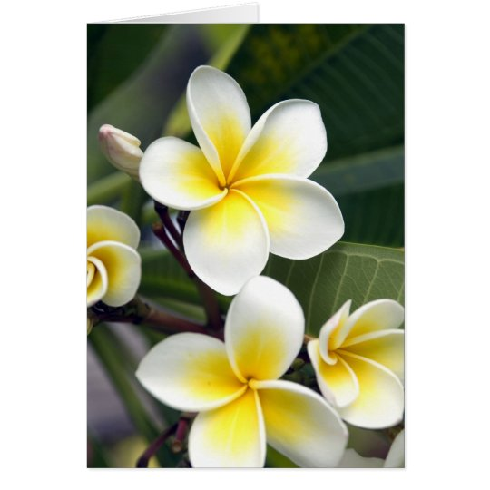 Frangipani flower Cook Islands Card