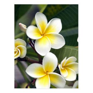 Frangipani flower Cook Islands Postcard