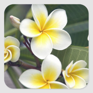 Frangipani flower Cook Islands Stickers