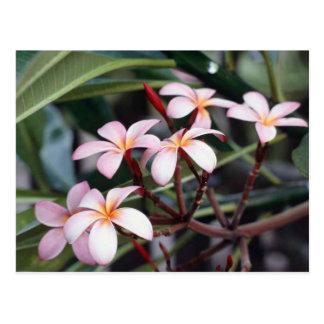 Frangipani Flower Postcard