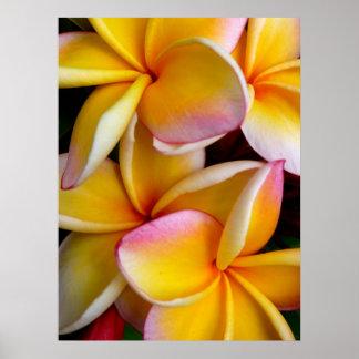 Frangipani hawaiano posters