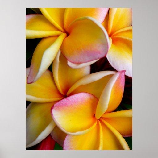 Frangipani hawaiano póster