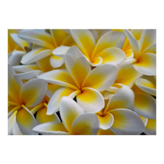 Frangipani Plumeria flowers Poster