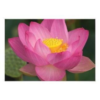 Franklin NC, jardín del agua de Perry, Lotus 2 Cojinete