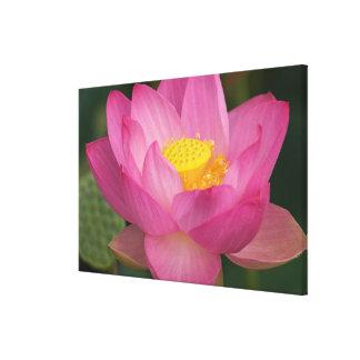 Franklin NC, jardín del agua de Perry, Lotus 2 Impresion De Lienzo
