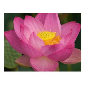 Franklin NC, jardín del agua de Perry, Lotus 2 Postal