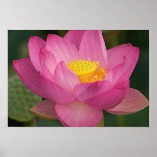 Franklin NC, jardín del agua de Perry, Lotus 2 Póster