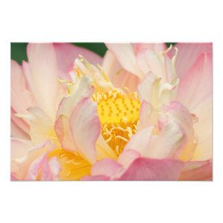 Franklin NC, jardín del agua de Perry, Lotus con Impresiones Fotograficas