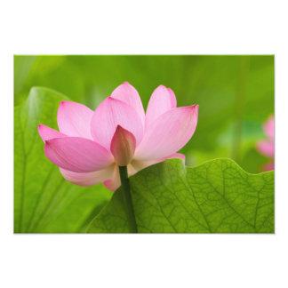 Franklin NC, jardín del agua de Perry, Lotus Cojinete