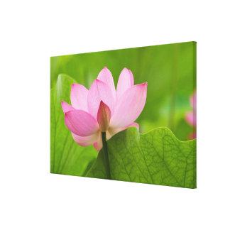 Franklin NC, jardín del agua de Perry, Lotus Impresión En Lona Estirada