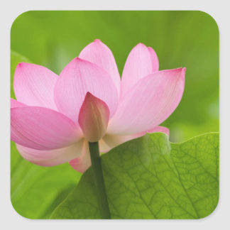Franklin NC, jardín del agua de Perry, Lotus Calcomanía Cuadradas Personalizadas