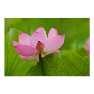 Franklin NC, jardín del agua de Perry, Lotus Póster