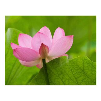 Franklin NC jardín del agua de Perry Lotus Tarjetas Postales