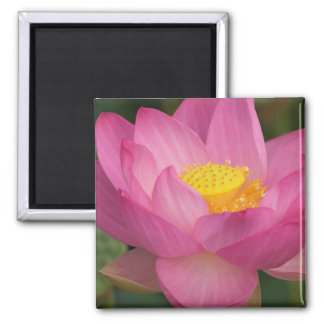 Franklin NC, Perry's Water Garden, Lotus 2 2 Inch Square Magnet