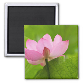 Franklin NC, Perry's Water Garden, Lotus 2 Inch Square Magnet