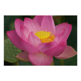 Franklin NC, Perry's Water Garden, Lotus 2 Print