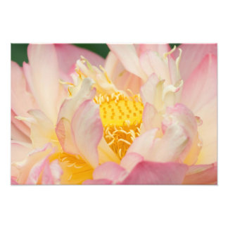 Franklin NC, Perry's Water Garden, Lotus with Photographic Print