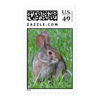 Franqueo curioso del conejo de rabo blanco