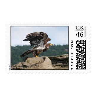 Franqueo de Eagle calvo
