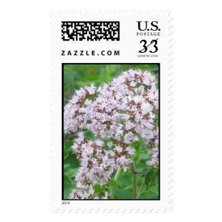 Franqueo de la floración del orégano centavo 29
