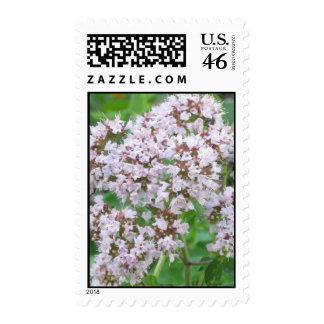 Franqueo de la floración del orégano centavo 44