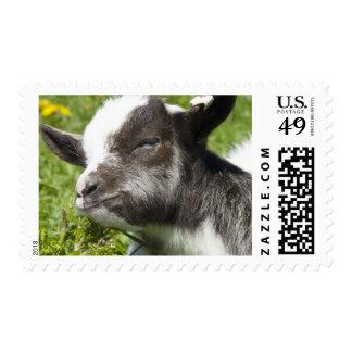 Franqueo de la fotografía de la cabra de Bagot del