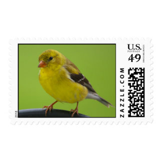 Franqueo del Goldfinch