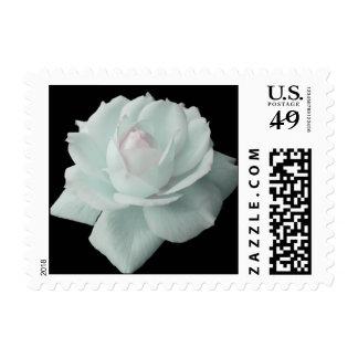 Franqueo del rosa blanco