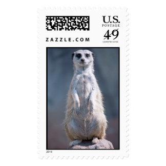 Franqueo rechoncho de Meerkat