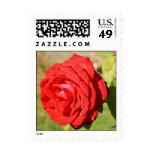 Franqueo romántico del rosa rojo
