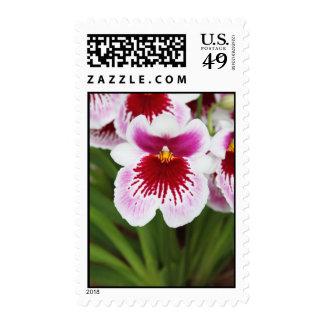 Franqueo rosado y blanco de la orquídea