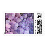 Franqueo rosado y púrpura del Hydrangea