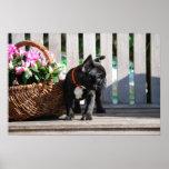Französische Bulldogge Poster