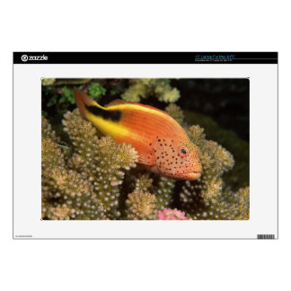 Freckled hawkfish perches on stony corals decals for laptops
