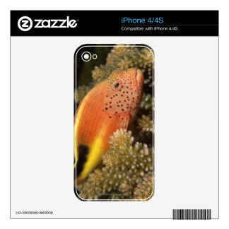 Freckled hawkfish perches on stony corals decals for the iPhone 4