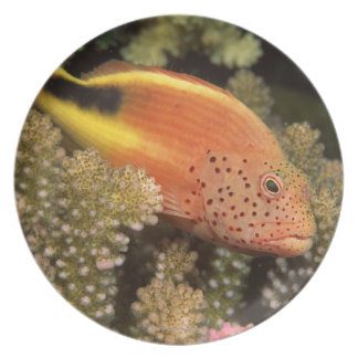 Freckled hawkfish perches on stony corals dinner plate