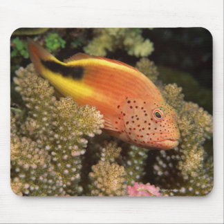 Freckled hawkfish perches on stony corals mouse pad